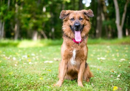 A furry brown mixed breed dog with a long tongue, sitting outdoors and looking at the camera 版權商用圖片