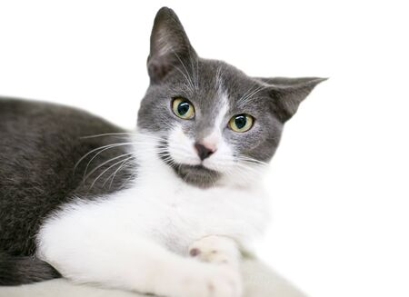 A gray and white domestic shorthair kitten lying down with dilated pupils and an annoyed expression on its face