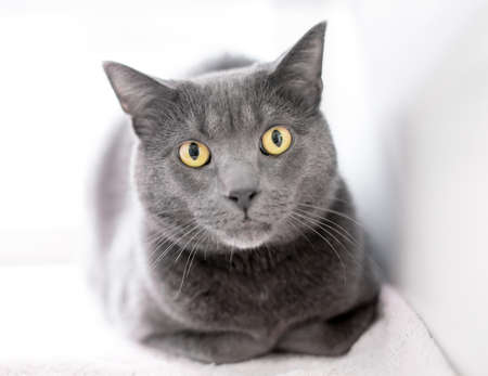A gray shorthair cat sitting in a