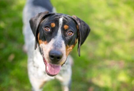 A Bluetick Coonhound mixed breed dog with a happy expression looking up at the camera