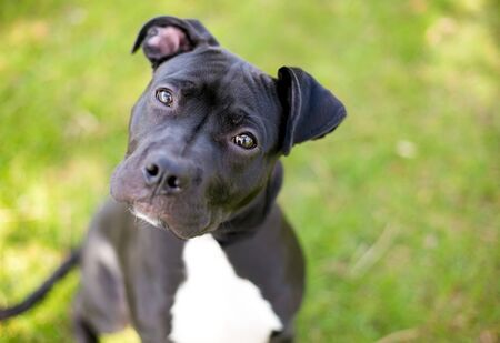 A young black and white Pit Bull Terrier mixed breed dog with floppy ears looking up at the camera with a head tilt