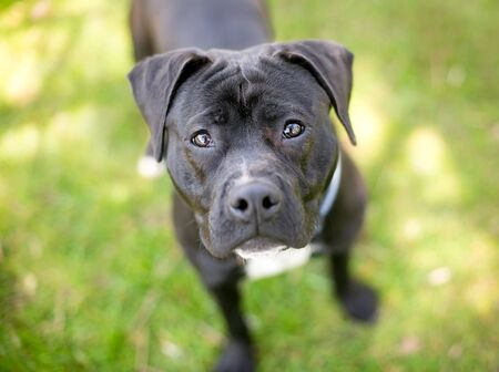 A black Pit Bull Terrier mixed breed dog standing outdoors and looking up at the camera
