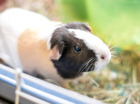 A tricolor American Guinea Pig in a cage