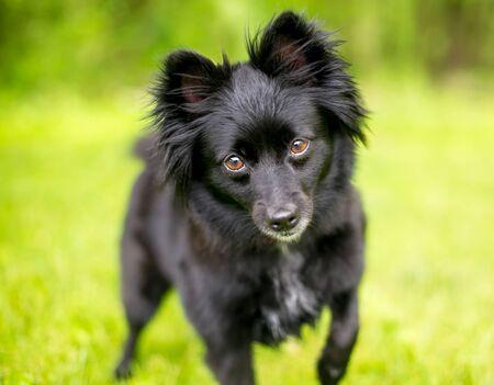 A black Schipperke mixed breed dog looking at the camera 版權商用圖片