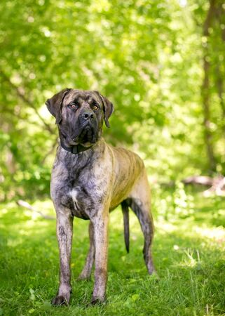 A brindle Cane Corso Italian Mastiff dog standing outdoors and looking into the distance