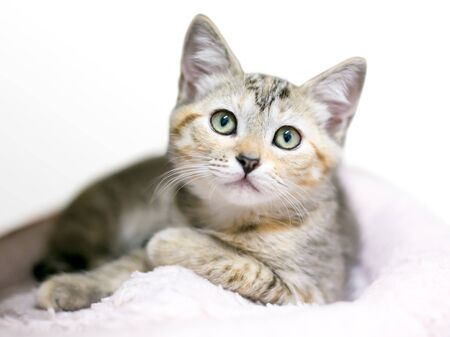 A calico tabby shorthair kitten lying on a blanket in a relaxed position