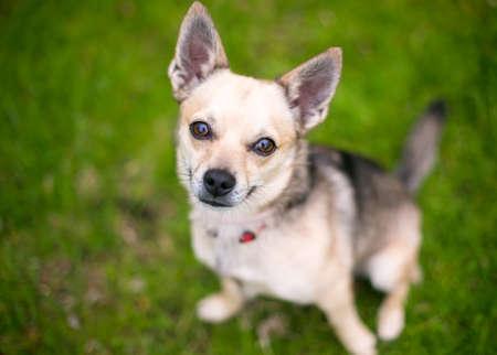 A small Chihuahua dog sitting outdoors and looking up at the camera 版權商用圖片