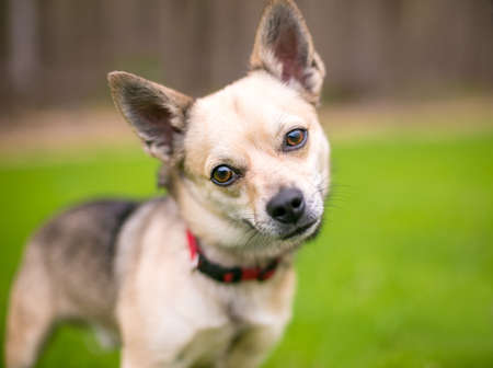 A small Chihuahua dog looking toward the camera with a head tilt