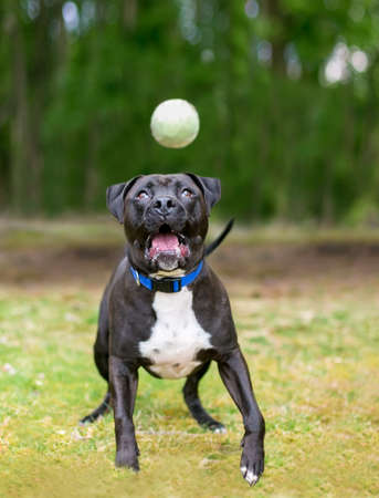 A black and white Pit Bull Terrier mixed breed dog playing outdoors, opening its mouth to catch a ball in the air 版權商用圖片