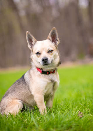 A small Chihuahua dog wearing a red collar sitting outdoors 版權商用圖片