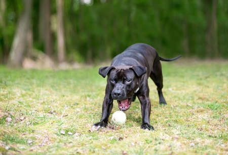 A black and white Pit Bull Terrier mixed breed dog playing outdoors, opening its mouth to pick up a ball
