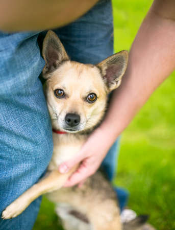 A shy Chihuahua dog hugging a person's leg and looking up at the camera