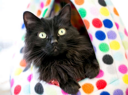 A black medium haired cat looking out of a colorful polka dot cat bed