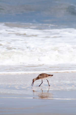 A Willet (Tringa semipalmata) foraging for food along the water's edge at Assateague Island National Seashore, Maryland