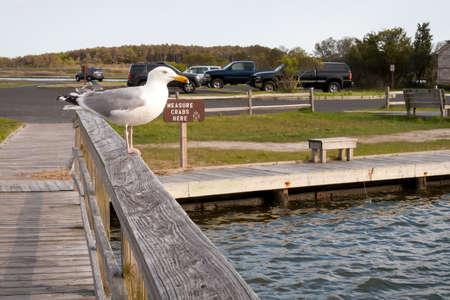 A Herring Gull (Larus argentatus) perched near a crabbing area at Assateague Island National Seashore, Maryland 版權商用圖片