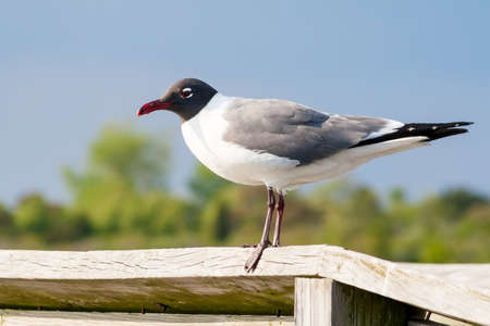 A Laughing Gull (Leucophaeus atricilla) perched on a wooden rail at Assateague Island National Seashore, Maryland