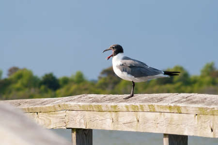 A Laughing Gull (Leucophaeus atricilla) perched on a wooden rail and calling at Assateague Island National Seashore, Maryland