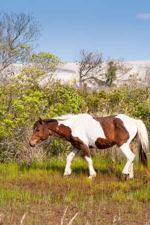A wild pony (Equus caballus) with sand dunes in the background at Assateague Island National Seashore, Maryland 版權商用圖片
