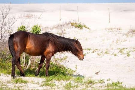 A wild pony (Equus caballus) and Killdeer (Charadrius vociferus) with sand dunes at Assateague Island National Seashore, Maryland 版權商用圖片