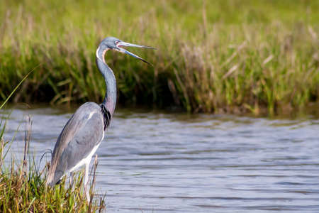 A Tricolored Heron (Egretta tricolor), also known as a Louisiana Heron, standing in salt marsh wetlands at Assateague Island National Seashore, Maryland