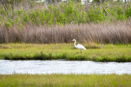 A Great Egret (Ardea alba) foraging for food in salt marsh wetlands at Assateague Island National Seashore, Maryland