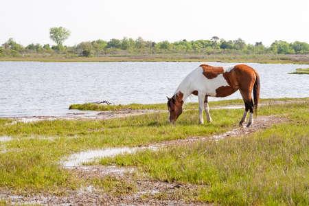 A wild pony (Equus caballus) grazing in salt marsh wetlands at Assateague Island National Seashore, Maryland