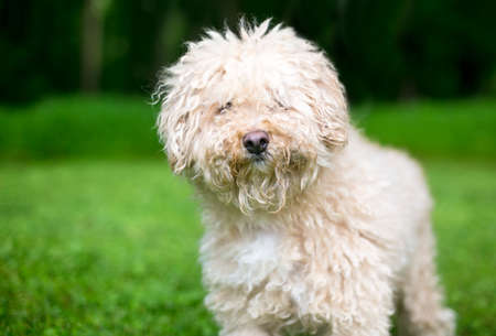 A shaggy Puli sheepdog mixed breed dog with curly hair standing outdoors