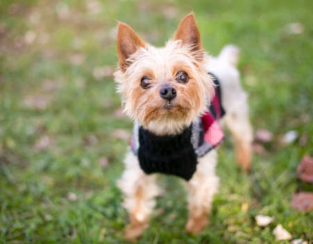 A Yorkshire Terrier mixed breed dog standing outdoors and wearing a sweater Reklamní fotografie