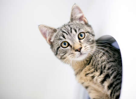 A tabby shorthair kitten peeking out from its cage in an animal shelter