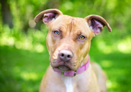 A red and white Pit Bull Terrier mixed breed dog listening with a head tilt Reklamní fotografie