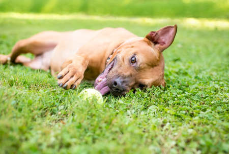 A Pit Bull Terrier mixed breed dog rolling in the grass and playing with a ball