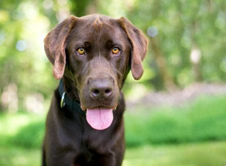 A purebred Chocolate Labrador Retriever dog looking at the camera and panting