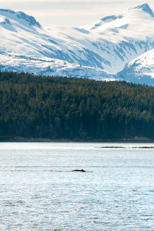 Scenic view of the Alaskan coast with snow-capped mountains, evergreen forest and a Humpback Whale surfacing