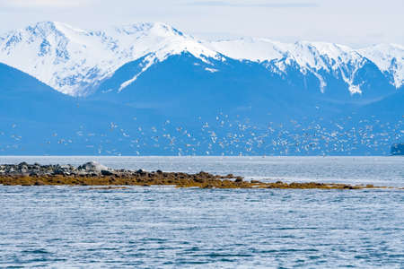 A flock of gulls flying along the coast of Alaska with snow-capped mountains in the background