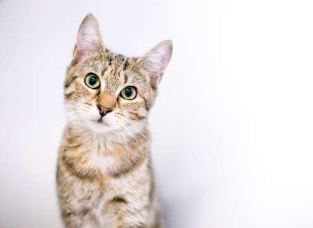 A cute tabby shorthair cat looking at the camera with a head tilt