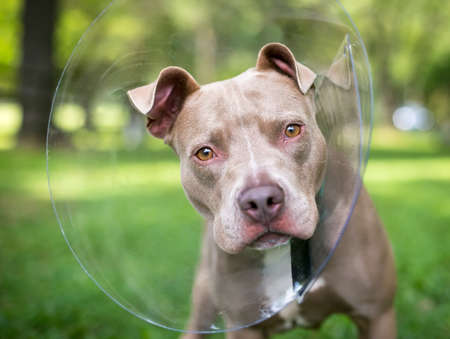 A Pit Bull Terrier mixed breed dog wearing a protective Elizabethan collar after surgery and looking at the camera with a head tilt