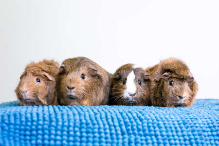 A group of four pet Guinea Pigs lined up in a row on a blue blanket Stock fotó