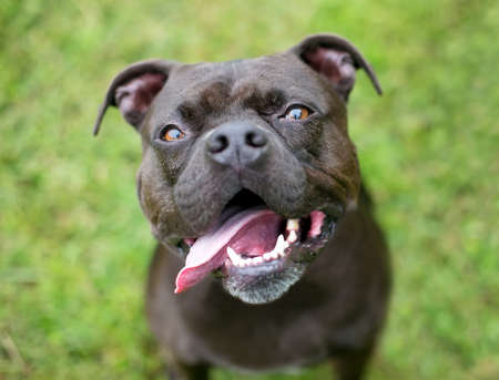 A black and white Staffordshire Bull Terrier mixed breed dog panting with its tongue out
