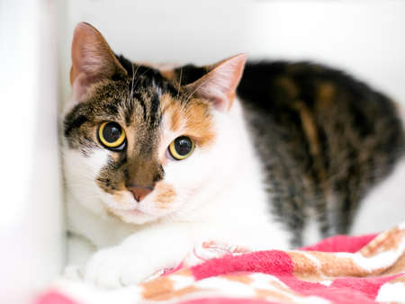 A shy Calico tabby shorthair cat with dilated pupils and a worried expression