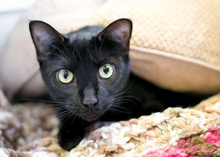 A shy black shorthair cat with dilated pupils peeking out from under a blanket
