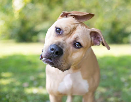 A Pit Bull Terrier mixed breed dog with floppy ears listening with a head tilt Stock fotó