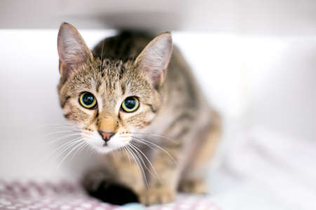 A tabby shorthair cat in a crouching position with a wide eyed expression and dilated pupils Stock fotó