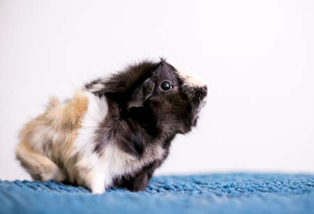 A tricolor Abyssinian Guinea Pig sitting on a blue blanket Stock fotó