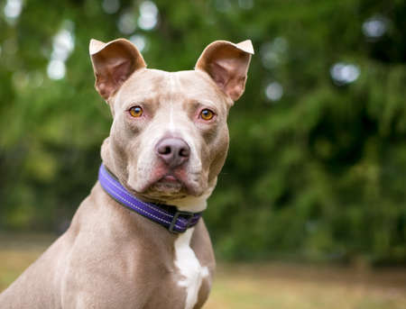 A brown and white Pit Bull Terrier mixed breed dog with large ears, wearing a purple collar and looking at the camera