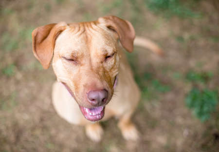 A red Hound x Retriever mixed breed dog sitting with its eyes closed and a happy expression