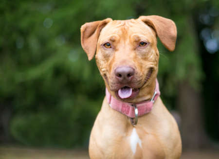 A red Hound x Retriever mixed breed dog with a happy expression, wearing a pink collar
