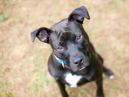 A black and white Pit Bull mixed breed dog with large floppy ears looking up at the camera with a head tilt Stock fotó