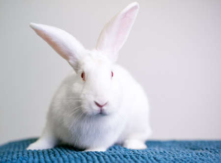 A white American rabbit with pink eyes sitting on a blue blanket Stock fotó