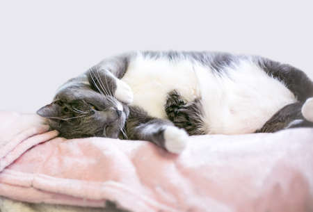 A gray and white shorthair cat napping on a soft blanket
