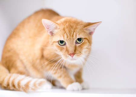 An orange tabby shorthair cat displaying tense body language, crouching and staring at the camera with dilated pupils and a grumpy expression Stock fotó